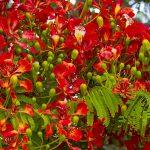 Download hình ảnh hoa phượng psd, Ai, Vector… miễn phí